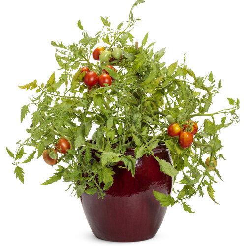lycopersicon_tempting_tomatoes_garden_gem_mono_02.jpg