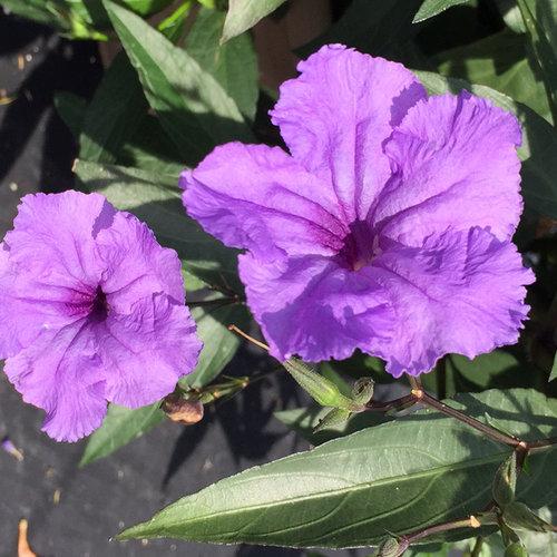 Machu™ Morado - Mexican Petunia - Ruellia simplex