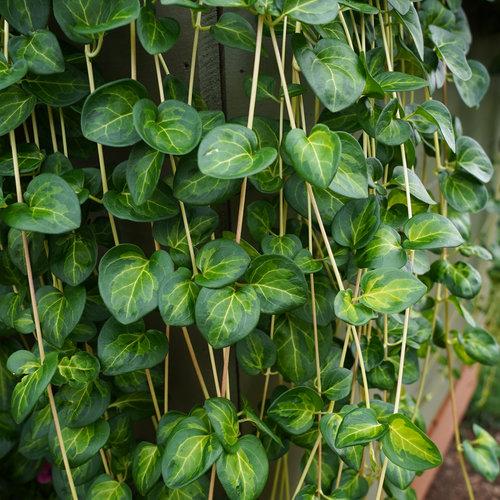 maculata_08940.jpg