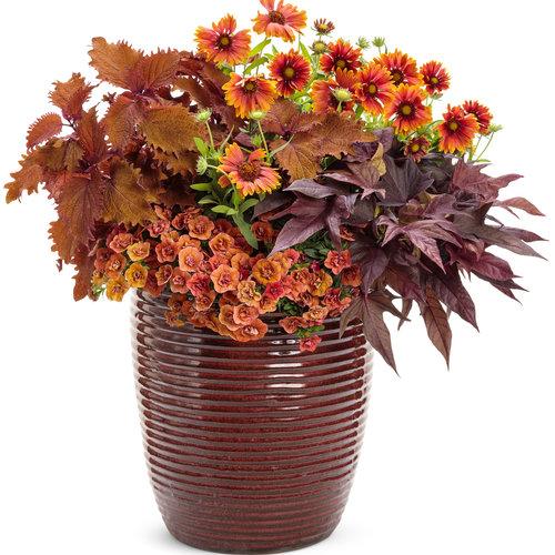 Heat It Up Scarlet Blanket Flower Gaillardia Hybrid Proven Winners