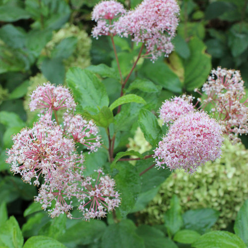 Marie Rose™ - New Jersey Tea - Ceanothus x
