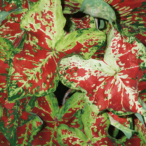 Heart to Heart™ 'Mesmerized' - Sun or Shade Caladium - Caladium hortulanum