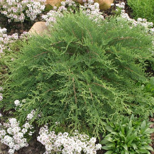 Microbiota decussata siberian cypress