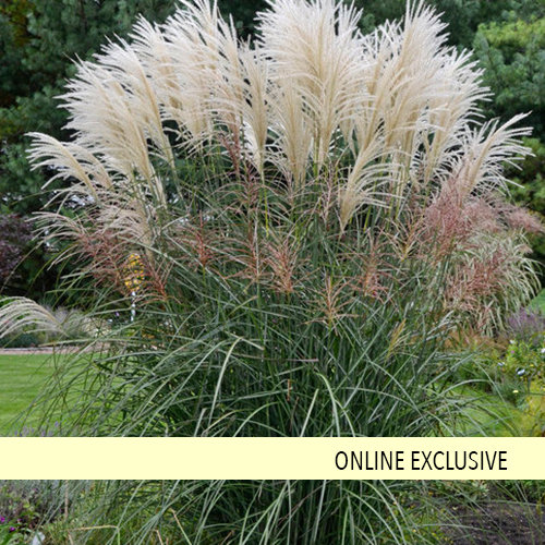 Encore Ornamental Grass Miscanthus Sinensis Proven Winners