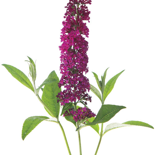 miss_molly_buddleia.jpg