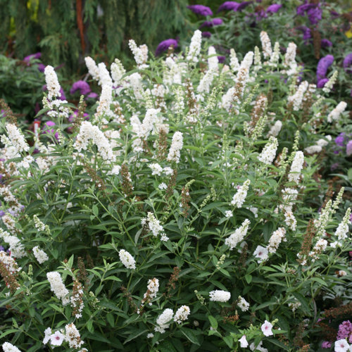 Miss Pearl Butterfly Bush Buddleia X Proven Winners