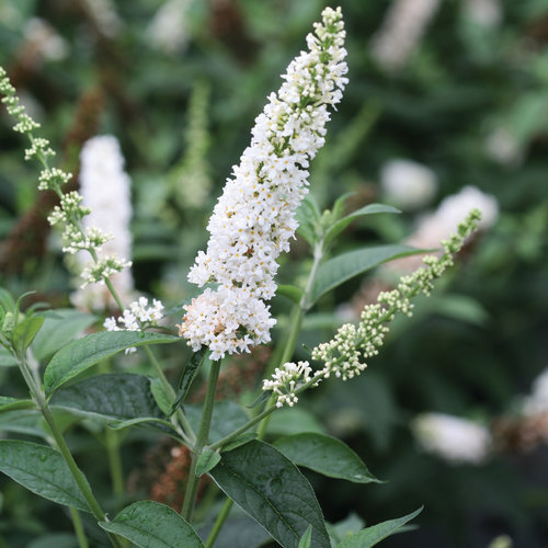 miss_pearl_buddleia_butterfly_bush_flower.jpg