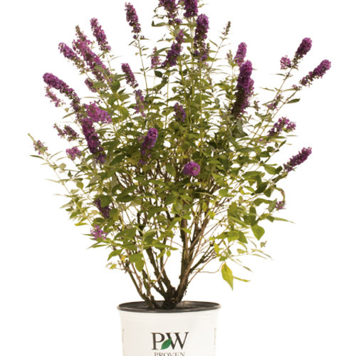 miss_violet_buddleia_container.jpg