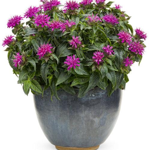 monarda-pardon-my-purple.jpg