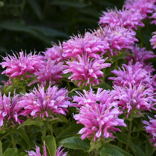'Pardon My Pink' - Bee Balm - Monarda didyma