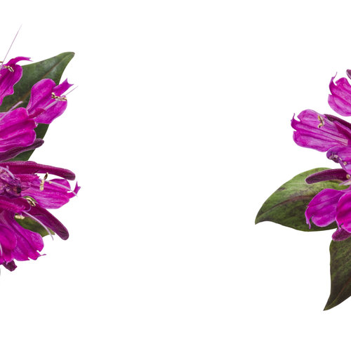 monarda_pardon_my_purple_02.jpg