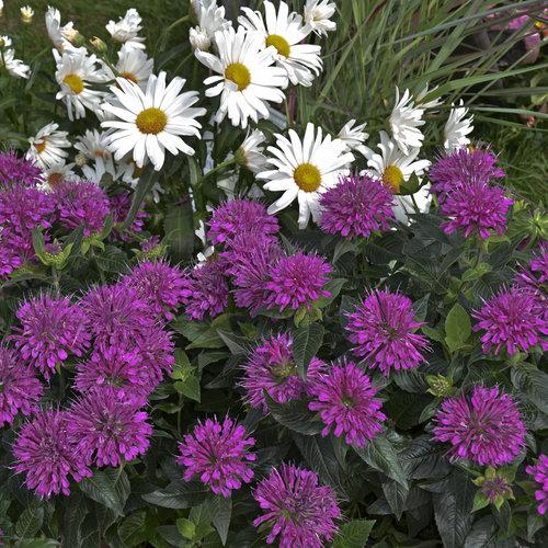 monarda_pardon_my_purplecjw12_8.jpg