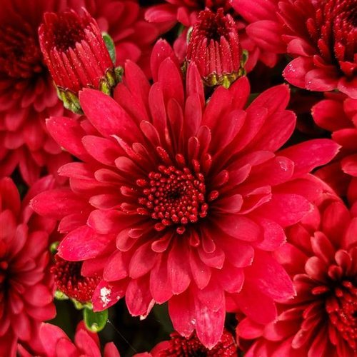 Morgana Red Garden Mum - Chrysanthemum grandiflorum