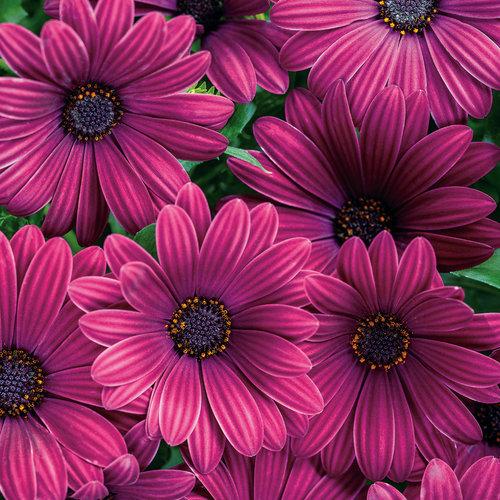 Bright Lights™ Purple - African Daisy - Osteospermum hybrid