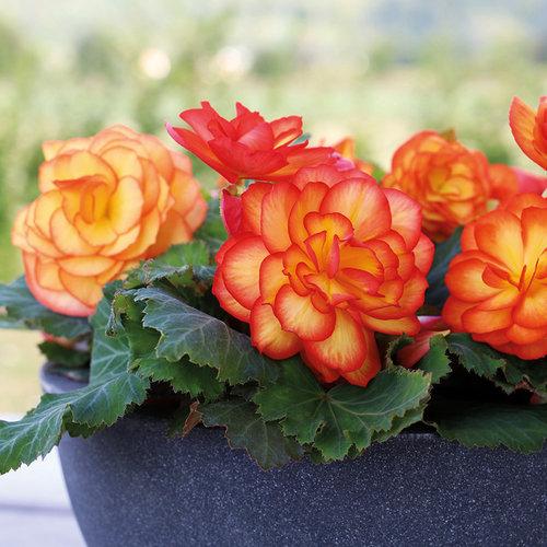 Nonstop® Fire - Tuberous Begonia - Begonia x tuberhybrida