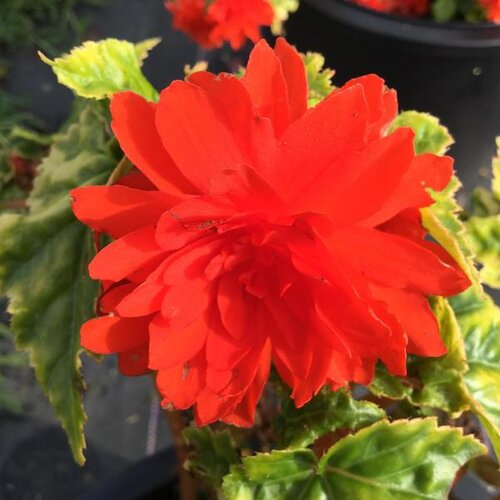 Nonstop® Joy Orange - Tuberous Begonia - Begonia x tuberhybrida