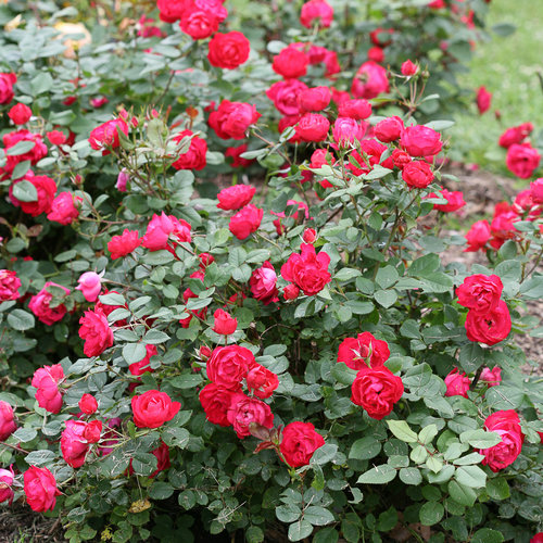 oso_easy_double_red_rose-3.jpg