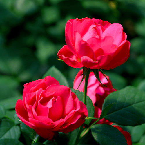 oso_easy_double_red_rose-.jpg
