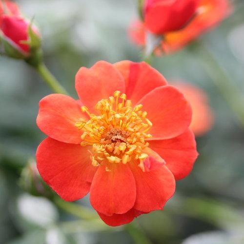 Oso Easy Hot Paprika® - Landscape rose - Rosa x