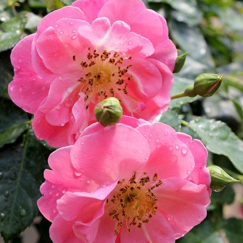 oso_easy_pink_cupcake_rosa-5036.jpg