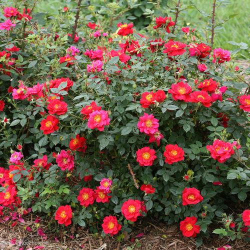oso_easy_urban_legend_rose_plant.jpg