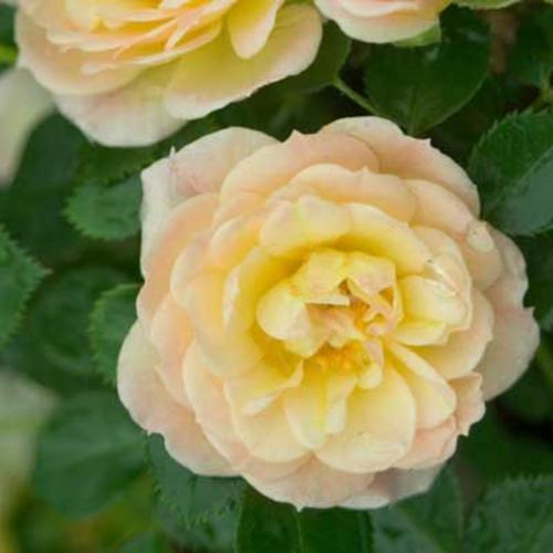 Oso Easy® Honey Bun - Landscape Rose - Rosa x
