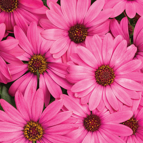 Bright Lights™ Berry Rose - African Daisy - Osteospermum hybrid