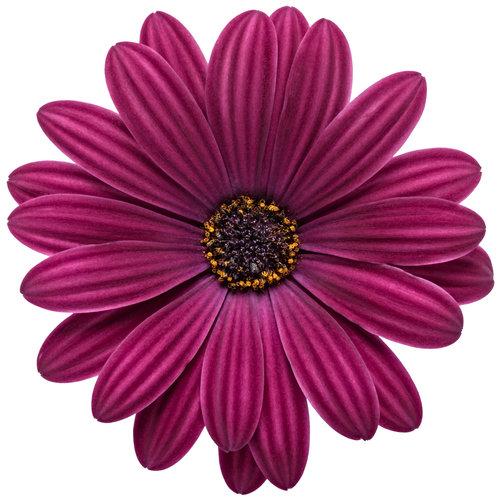osteospermum_bright_lights_purple_03.jpg