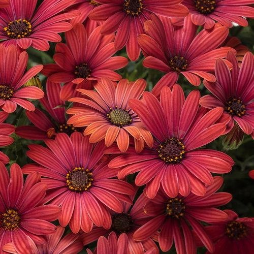 Bright Lights™ Red - African Daisy - Osteospermum hybrid
