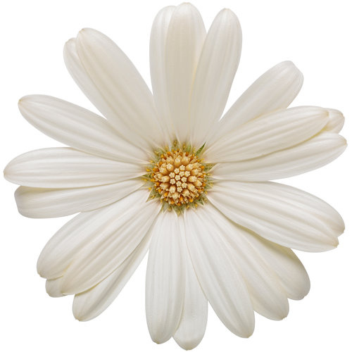osteospermum_bright_lights_white_03.jpg