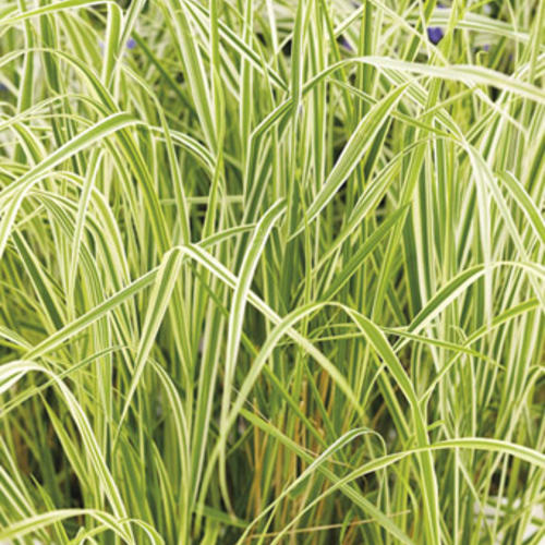 'Overdam' - Feather Reed Grass - Calamagrostis acutiflora