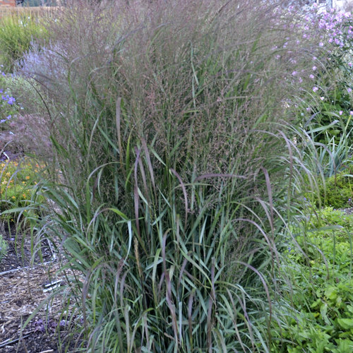 prairie winds 39 apache rose 39 switch grass panicum virgatum proven winners. Black Bedroom Furniture Sets. Home Design Ideas