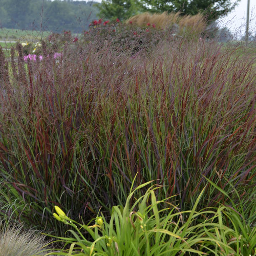 Prairie Winds 174 Cheyenne Sky Red Switch Grass Panicum