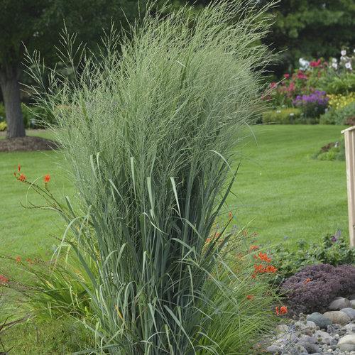 Prairie Winds® 'Totem Pole' - Switch Grass - Panicum virgatum