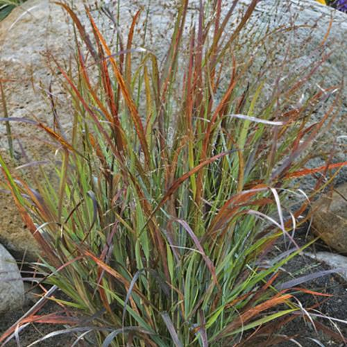 301 moved permanently for Red and green ornamental grass