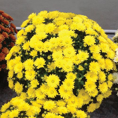 Paradiso Yellow Garden Mum - Chrysanthemum grandiflorum