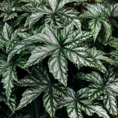 Proven Accents® Pegasus® - Begonia hybrid