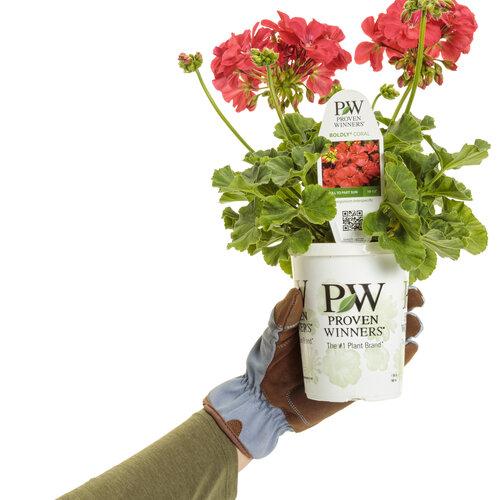 pelargonium_boldly_coral_grande_in_hand_10.jpg