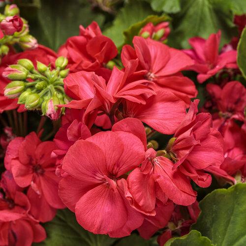 Boldly® Coral - Geranium - Pelargonium interspecific