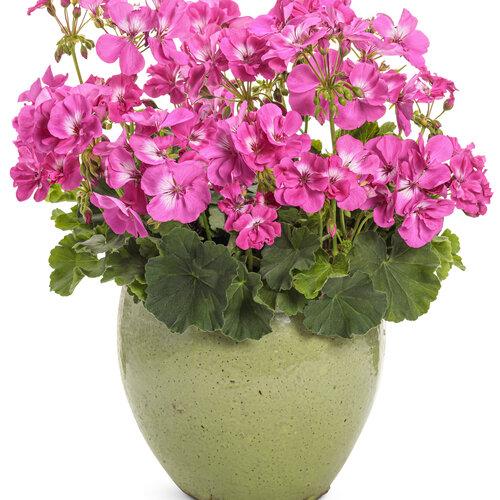 pelargonium_boldly_hot_pink_improved_mono_02.jpg