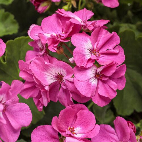 Boldly® Hot Pink - Geranium - Pelargonium interspecific