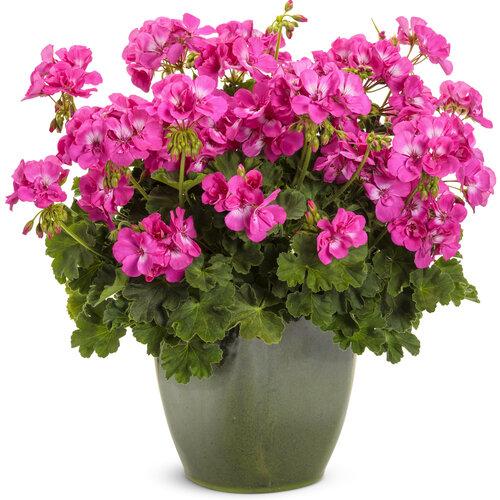 pelargonium_boldly_hot_pink_mono.jpg