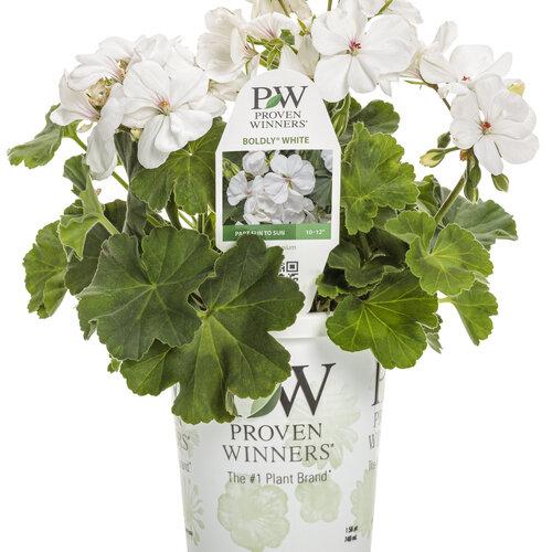 pelargonium_boldly_white_grande.jpg