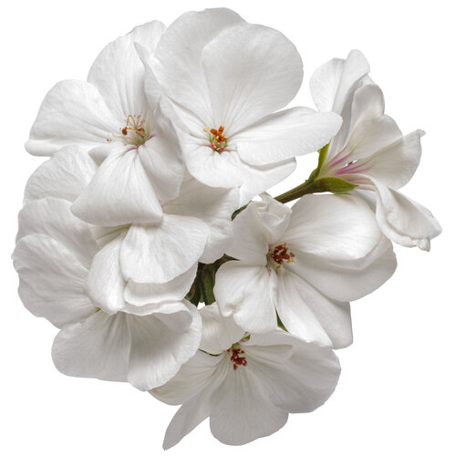 pelargonium_boldly_white_macro_01.jpg