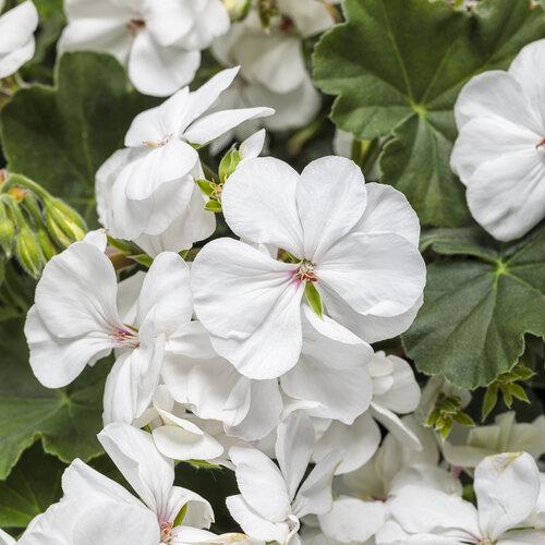 Boldly® White - Geranium - Pelargonium interspecific