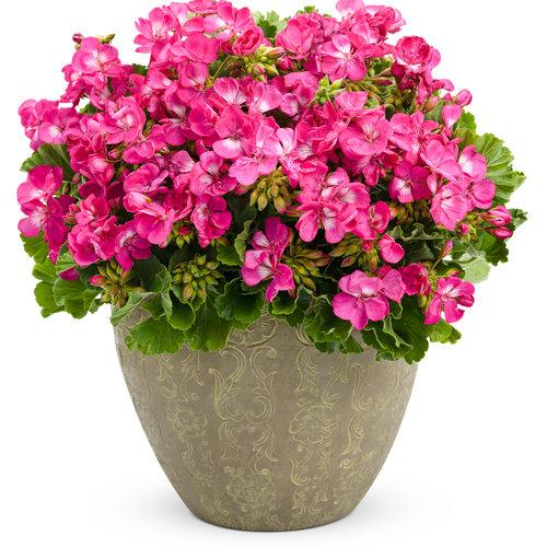 pelargonium rosita.jpg