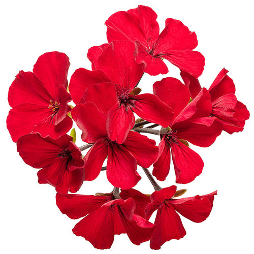 pelargonium_timeless_fire_large.jpg
