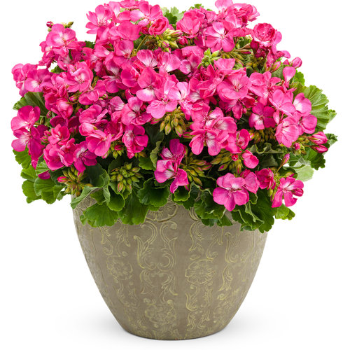pelargoniumrosita.jpg
