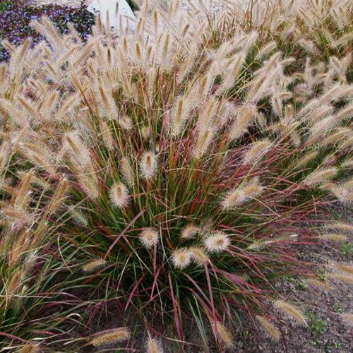 pennisetum-alopecuroidesdesert-plains.jpg