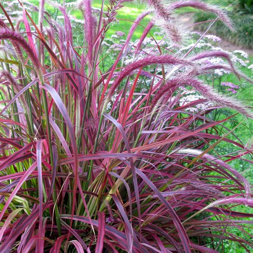 301 moved permanently for Variegated grass with purple flower